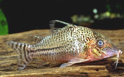 Corydoras sp. cf. leopardus longnose ??????? x 17 ...